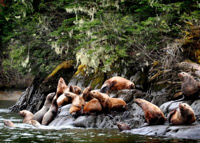 Kitsumkalum - Sea lions in the Skeena