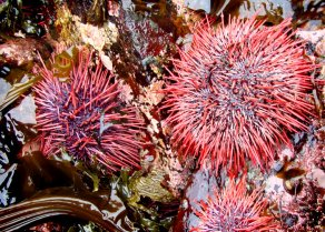 Sea Urchins while out on the land harvesting Kitsumkalum