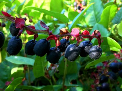 dza'wes laughing berries; salal berries, Kitsumkalum Harvest