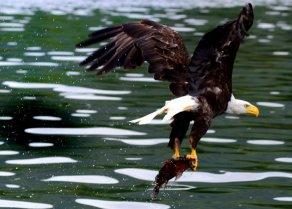 eagle while kitsumkalum food harvest