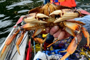 Kitsumkalum crab food harvest
