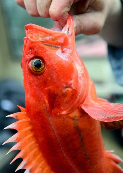 kitsumkalum food harvest red snapper