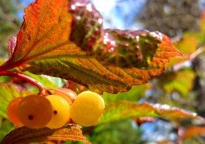 Kitsumkalum Highbush cranberries