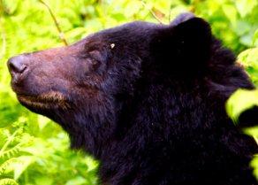 Black bear on Kitsumkalum Lands