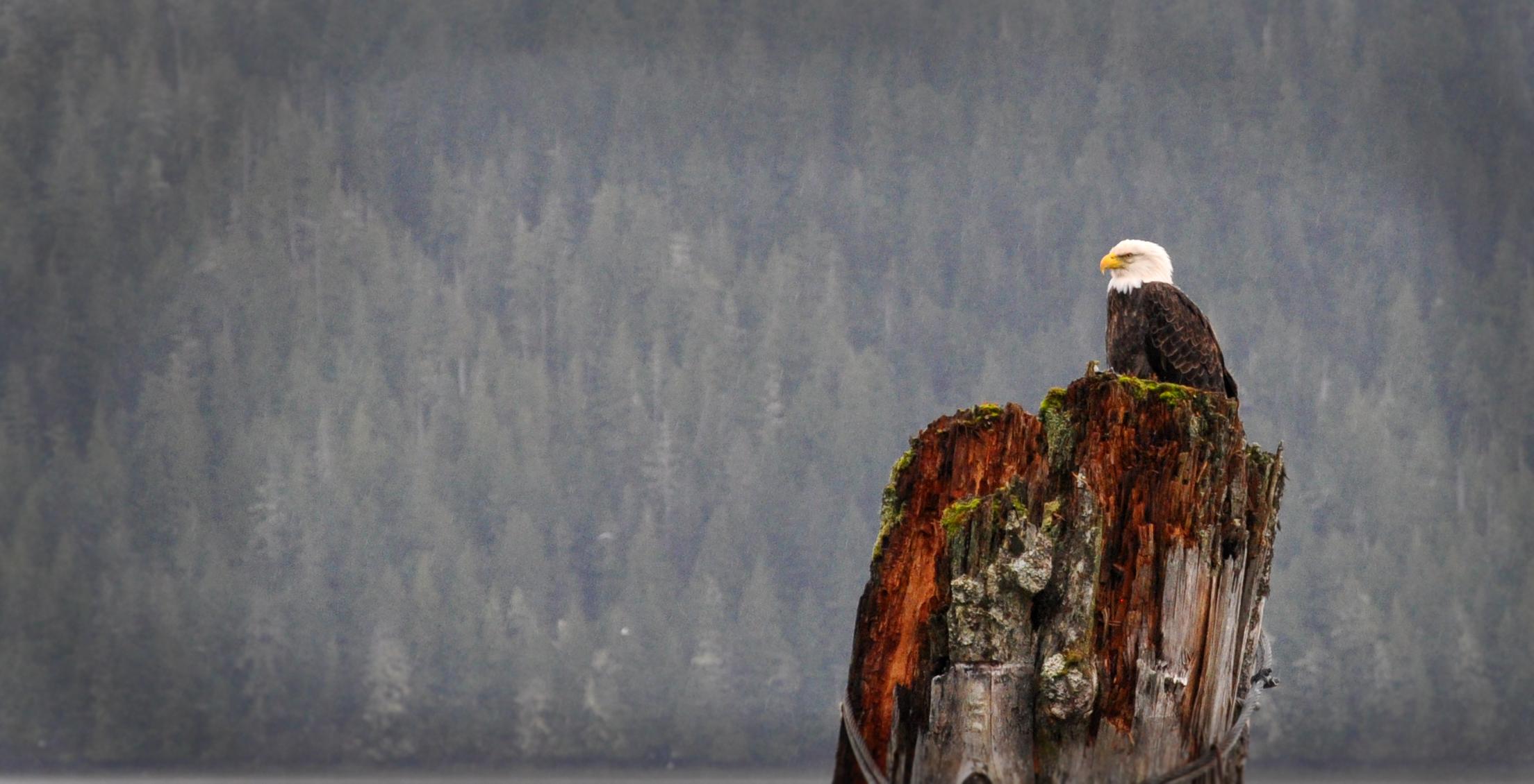 kitsumkalum-skeena-river-eagle2