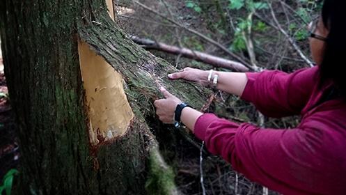 kitsumkalum-cedar-harvest-2017