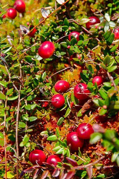 Kitsumkalum-dahdee-bog-cranberries