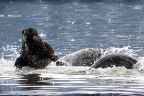 kitsumkalum-skeena-river-seal-run