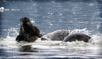 kitsumkalum-skeena-river-seal-run