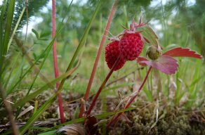 kitsumkalum-wild-strawberries-2016