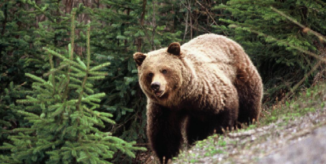Report Bear Sightings to RAPP